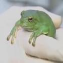 Australasian zoos raise funds for amphibians