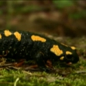 A Quest for the Fire Salamander in Germany