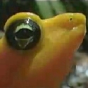 The almost extinct Golden Frog