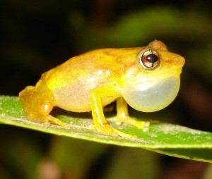 Eleutherodactylus juanariveroi male calling