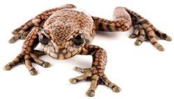 Prince Charles Stream Treefrog