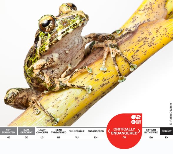 Eleutherodactylus nortoni