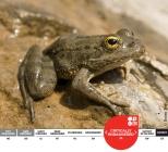 Karpathos Frog