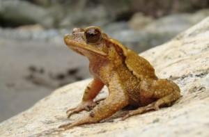 Large-crested Toad, Jose Alfredo Hernandez Diaz