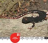 Northern Spectacled Salamander