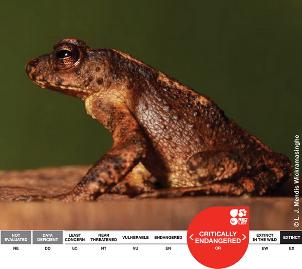 Sri Lankan Kandyan Dwarf Toad