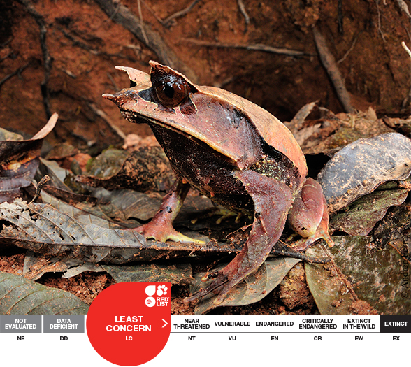 Long-nosed Horned Frog