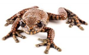 Prince Charles Stream Tree Frog