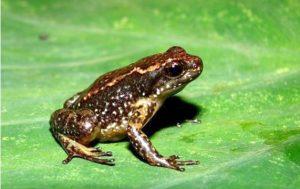 Zippel's Frog, Fernando J.M. Rojas-Runjaic