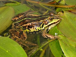 Northern Pool Frog