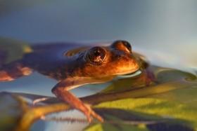 Valcheta Frog