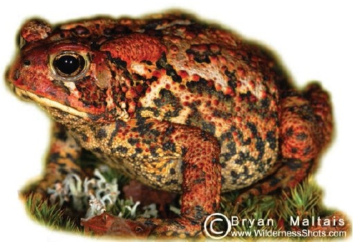 American Toad, Bryan Maltais