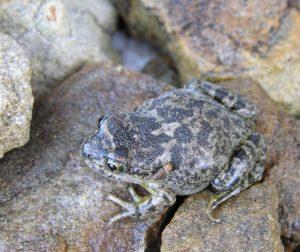 Patagonia Frog