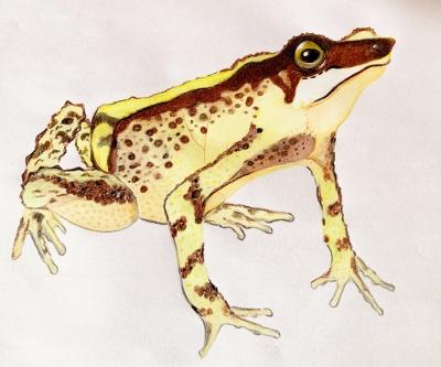 A. oxyrhynchus